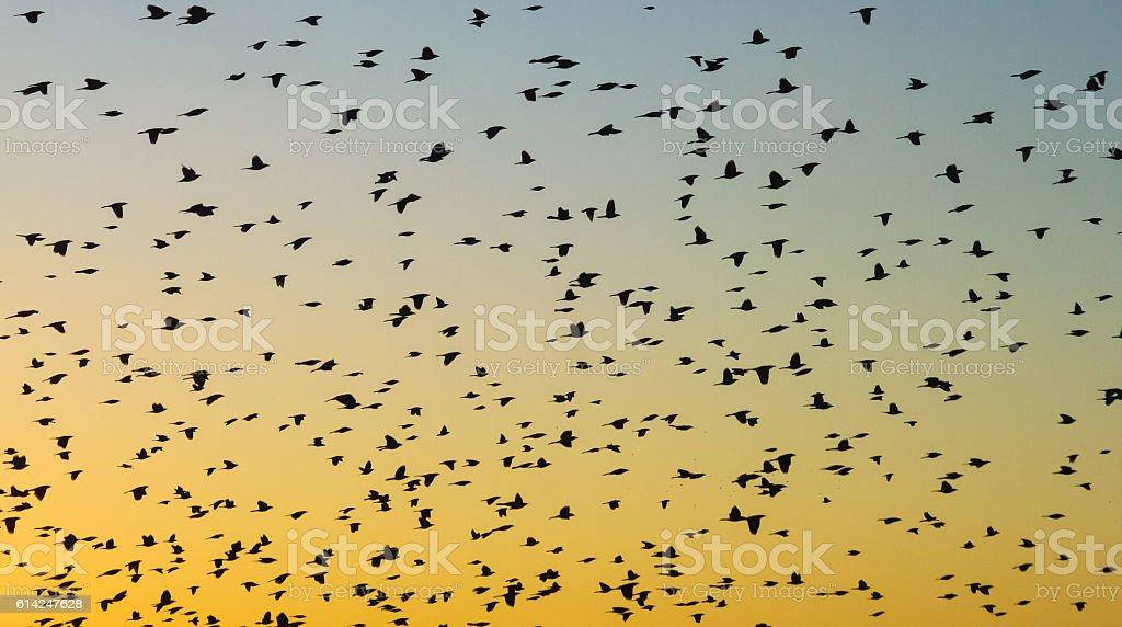 Blackbird Flock at Sunset stock photo