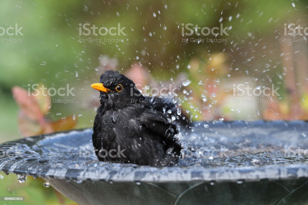 Blackbird having a bath stock photo