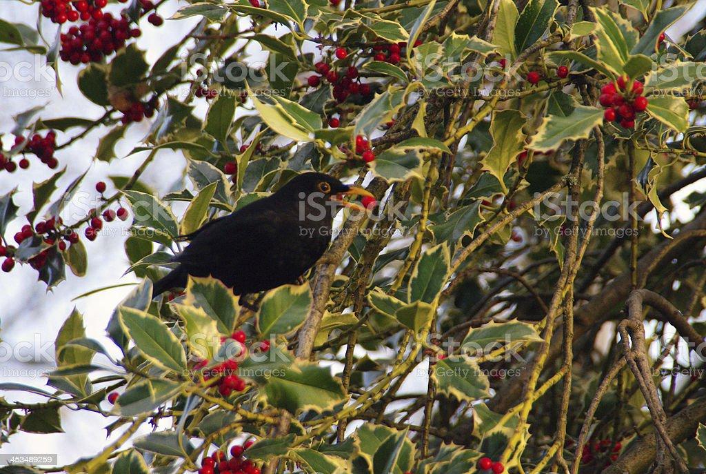 Blackbird in a holly tree royalty-free stock photo