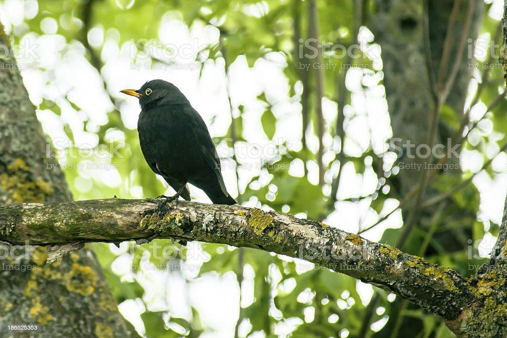 Blackbird in a tree royalty-free stock photo