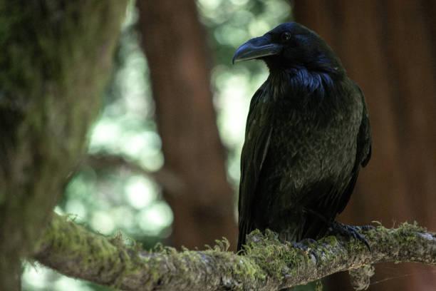 Blackbird in Nature stock photo