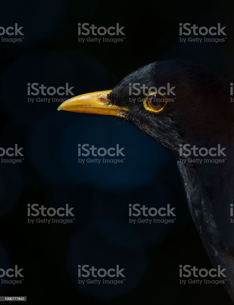 Blackbird in shadow. stock photo