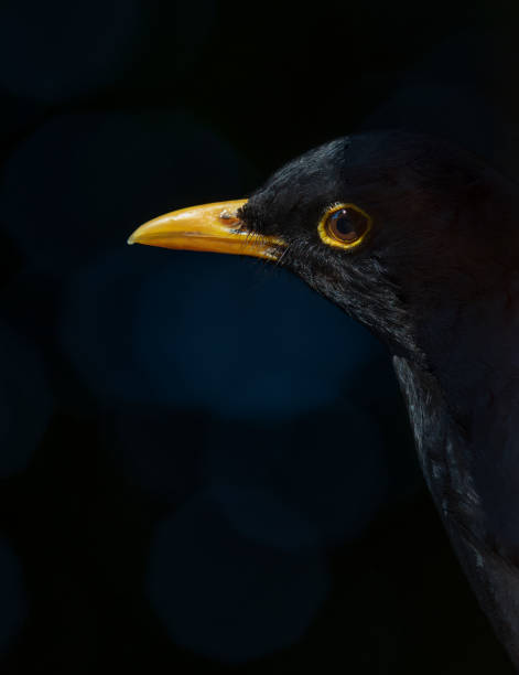 Blackbird in shadow. stock photo