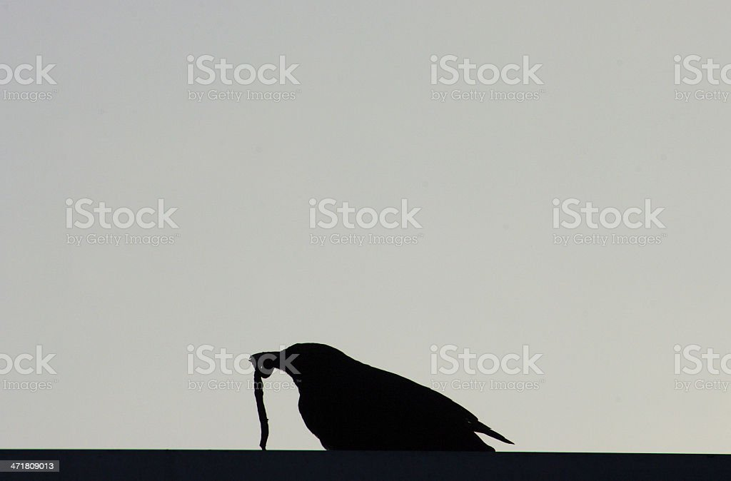 Blackbird in silhouette royalty-free stock photo