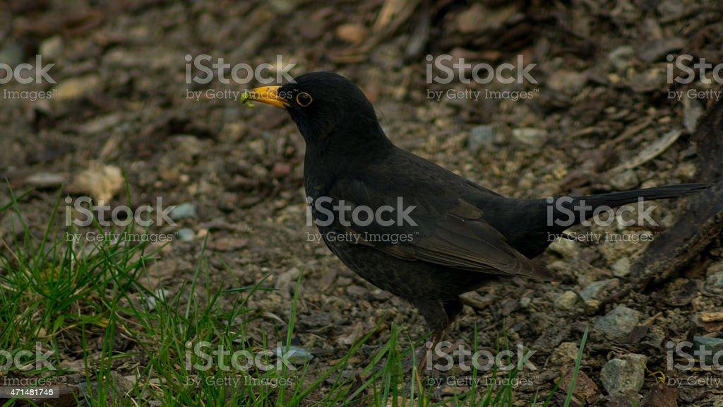 Blackbird in the grass fielding earthworms stock photo