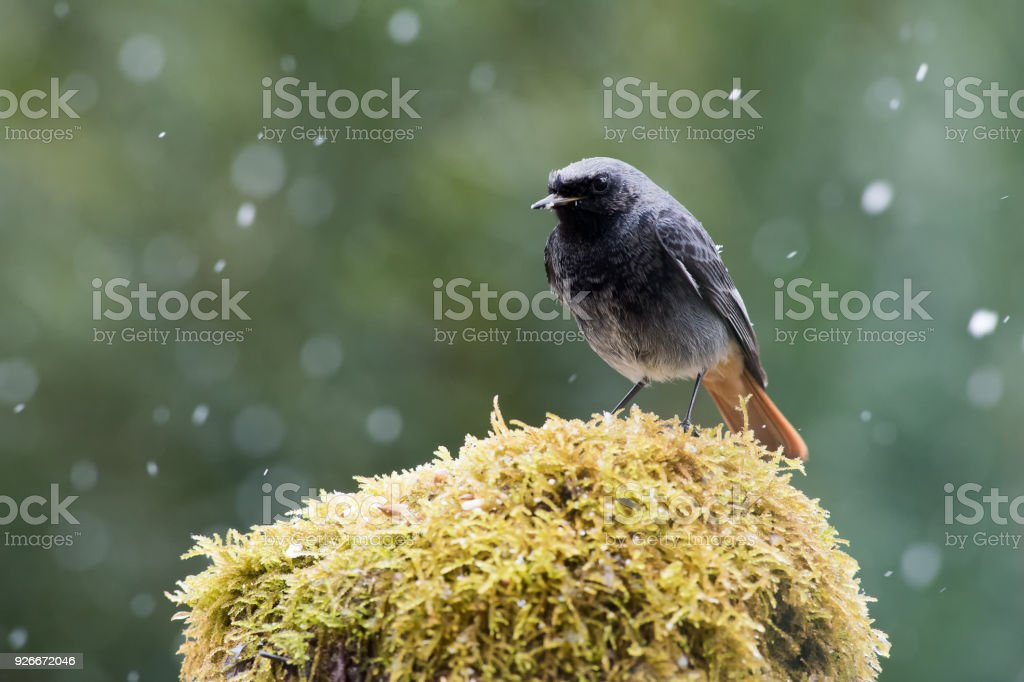 Blackbird in the snow stock photo