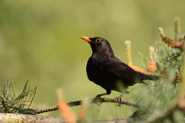 Blackbird Male stock photo