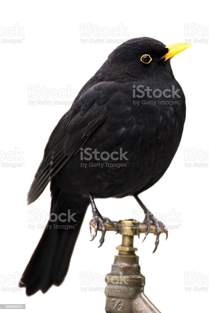 Blackbird on a Garden Tap stock photo