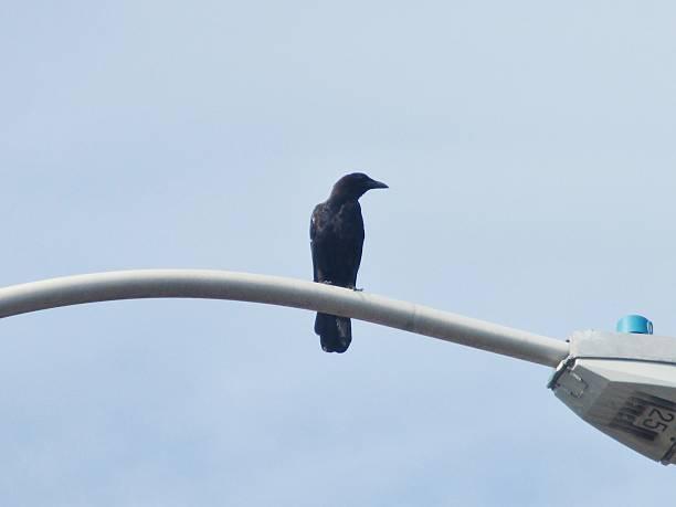 Blackbird on a Street Light Arm stock photo