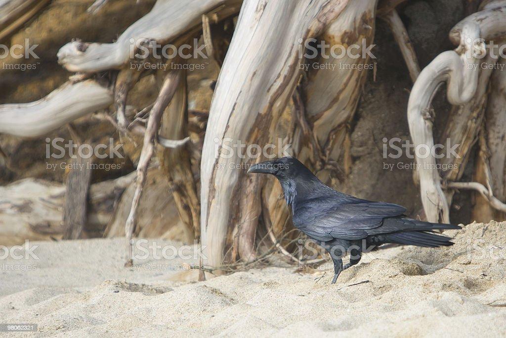 Blackbird on Beach royalty-free stock photo