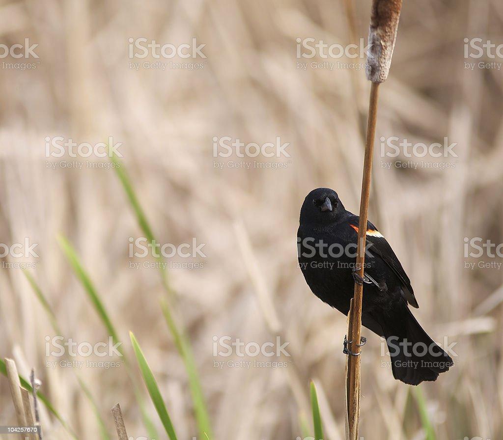Blackbird on branch! royalty-free stock photo