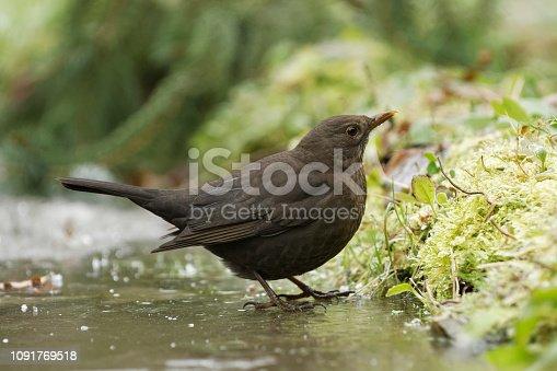 blackbird on ice in winter
