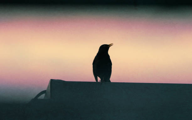 Blackbird on rooftop dramatic sunset silhouette stock photo