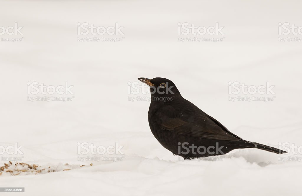 Blackbird on snow stock photo