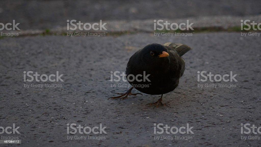 Blackbird on the street stock photo