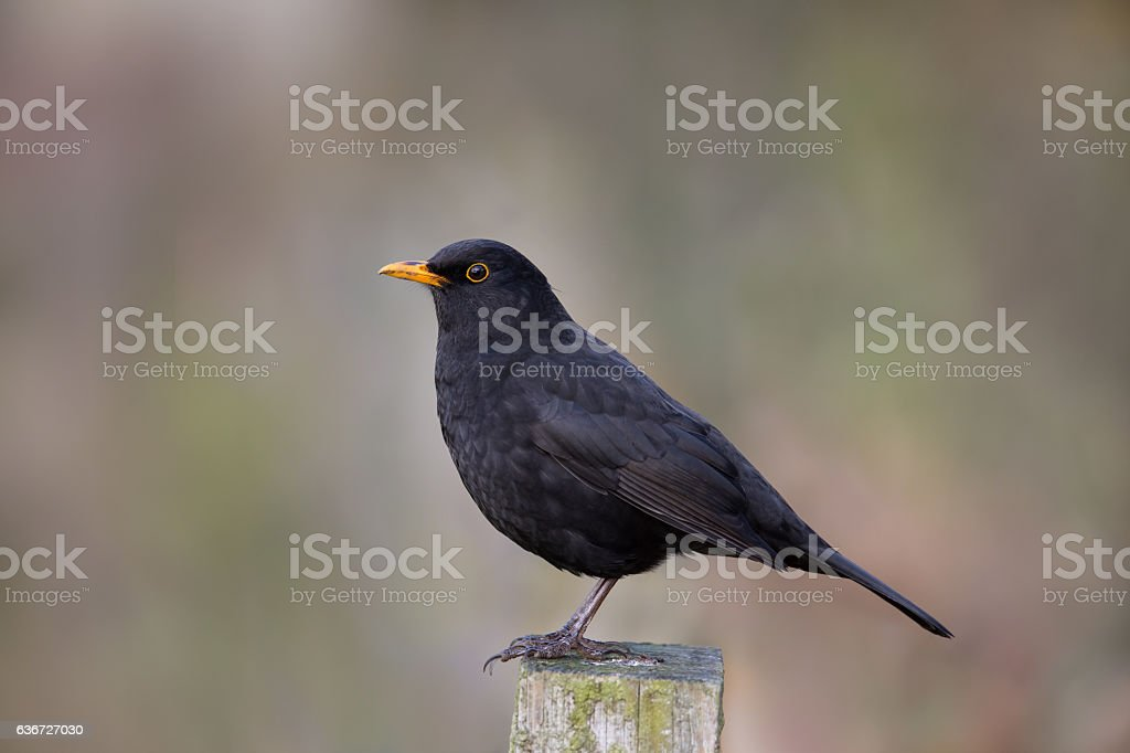 Blackbird perched on fence post stock photo