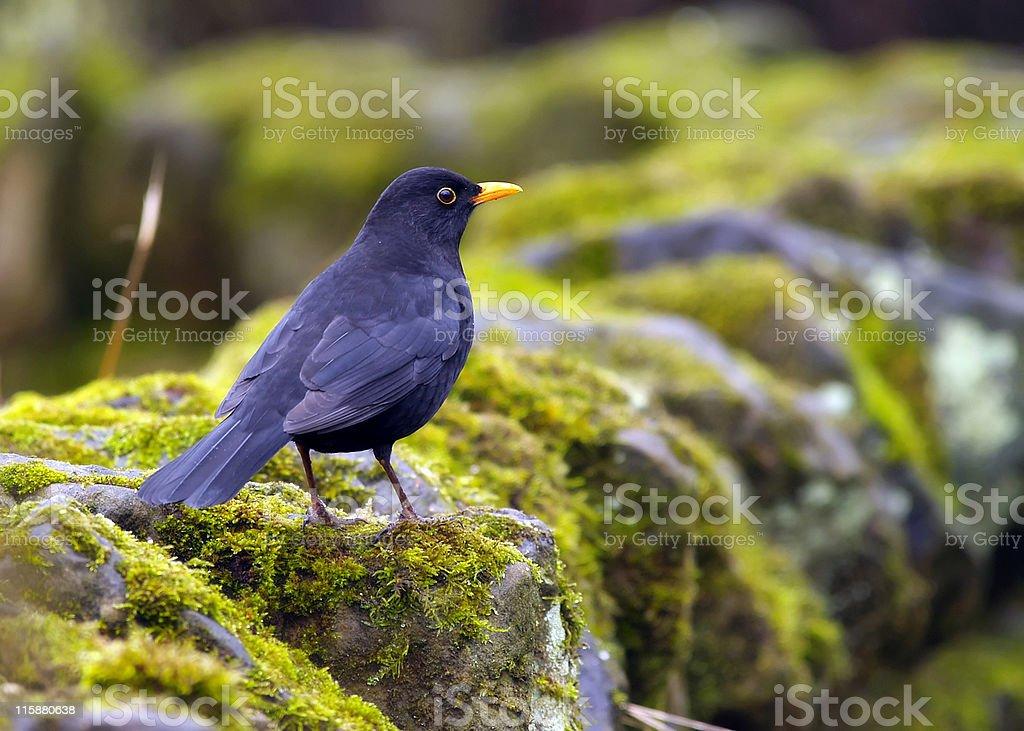 Blackbird (Turdus merula) royalty-free stock photo