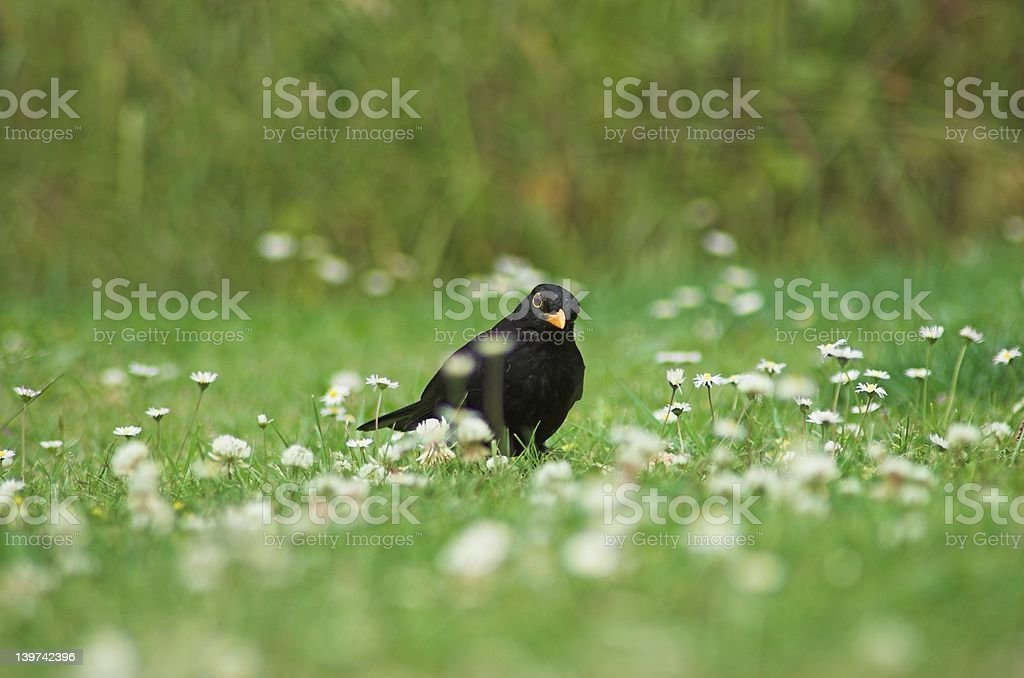 Blackbird royalty-free stock photo