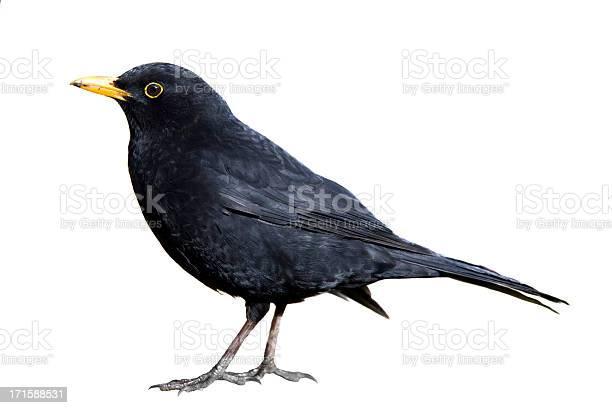 Blackbird picture id171588531?b=1&k=6&m=171588531&s=612x612&h=dnz9vekqk3nixb9ye no v7ksnroiigr5ttzlipoinm=