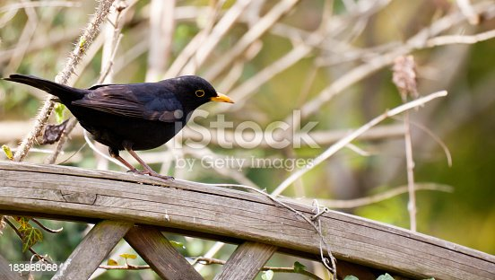 Blackbird is watching on a fence.
