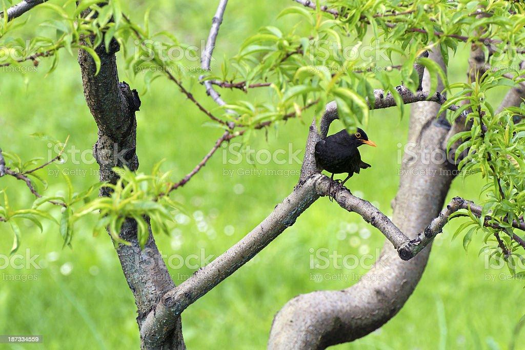 blackbird stock photo
