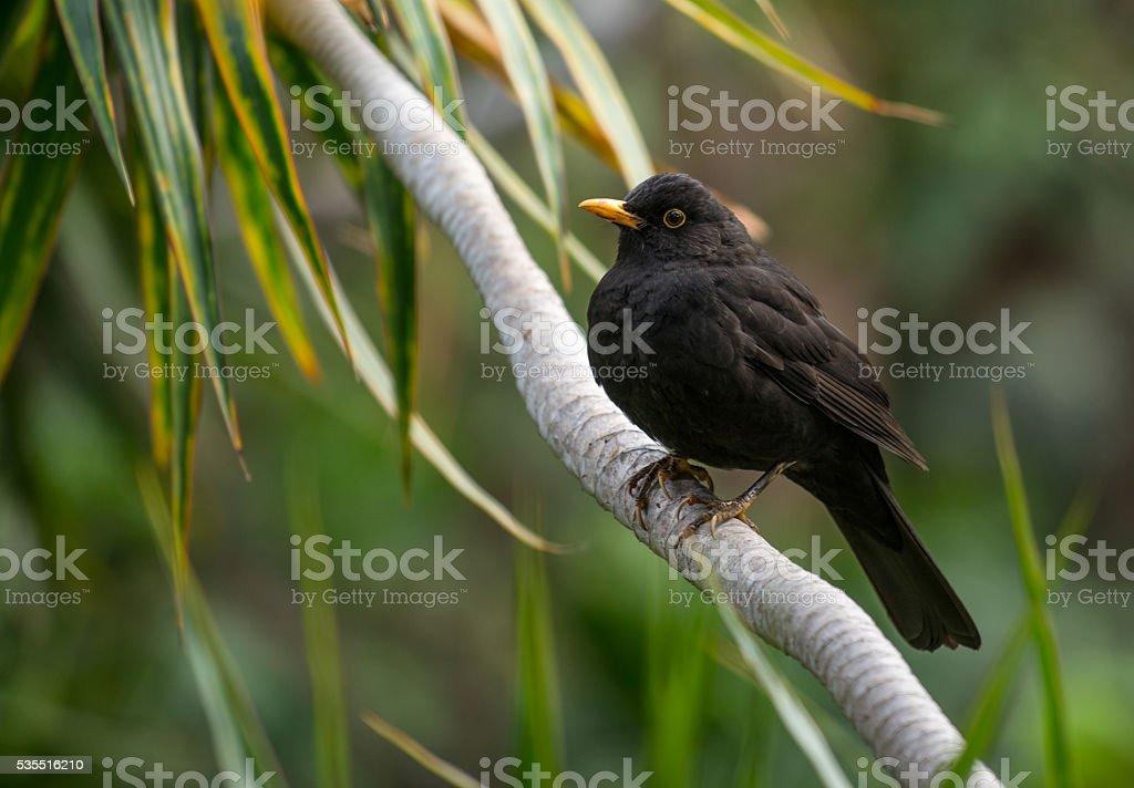 Blackbird  – Foto