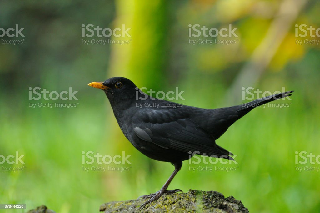 Blackbird (Turdus merula) stock photo