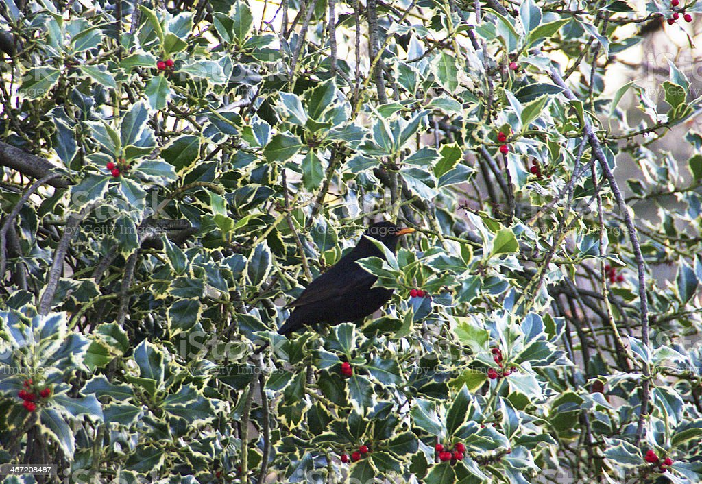 Blackbird searching for food royalty-free stock photo