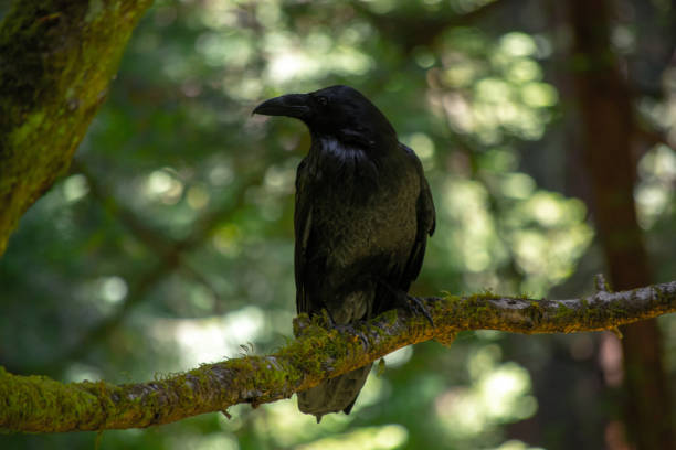 Blackbird Singing during Golden Hour stock photo