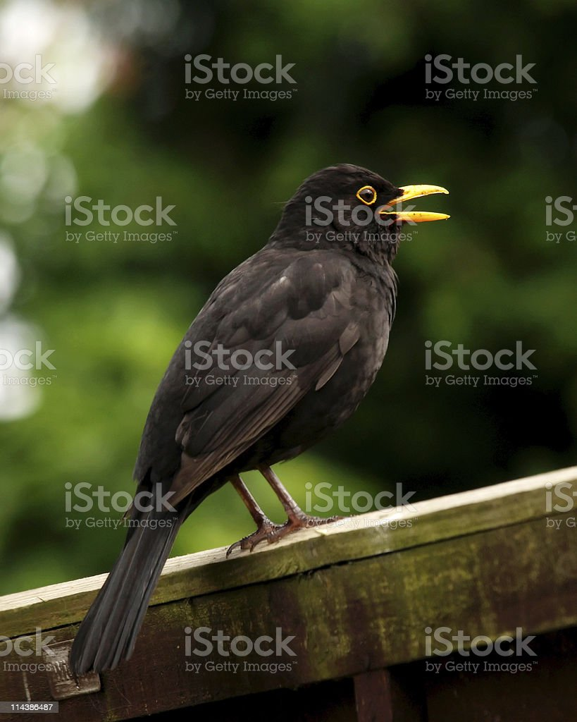 Blackbird (Turdus merula) Singing stock photo
