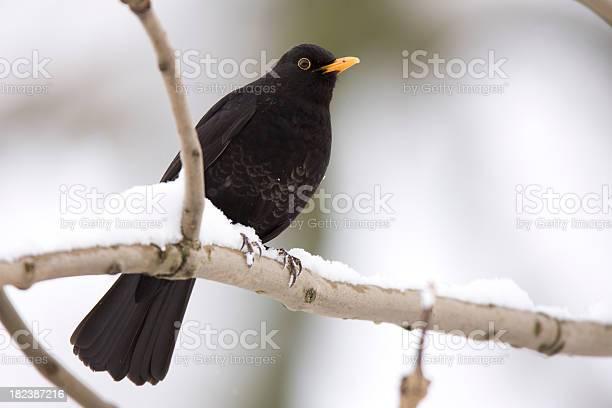 Photo of Blackbird Snow Scene