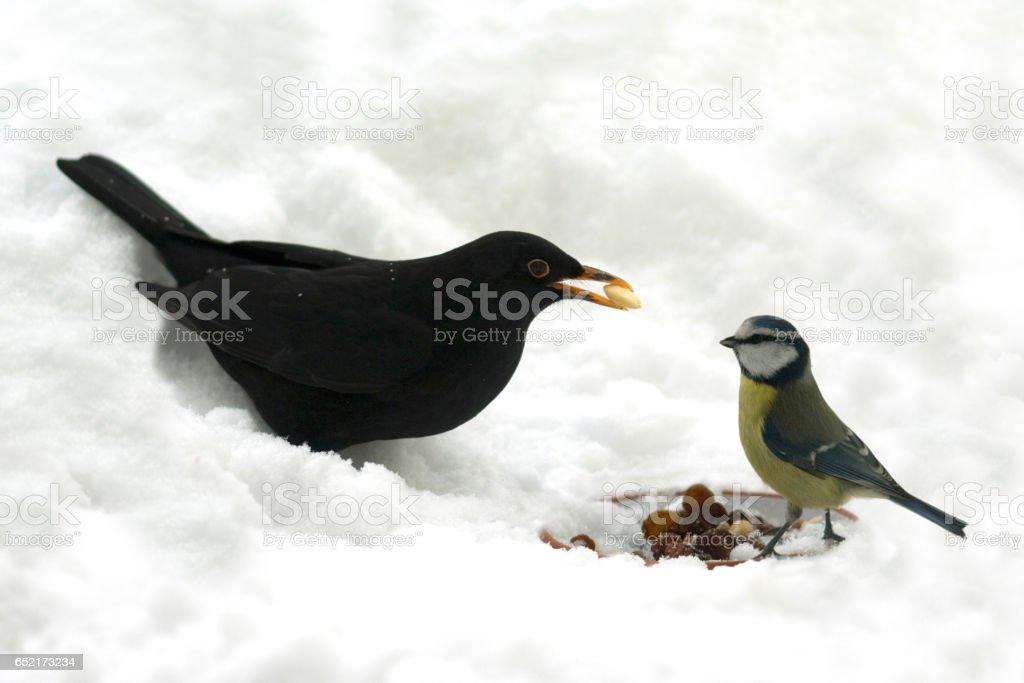 Blackbird, Turdus, merula, Cyanistes; Caeruleus stock photo