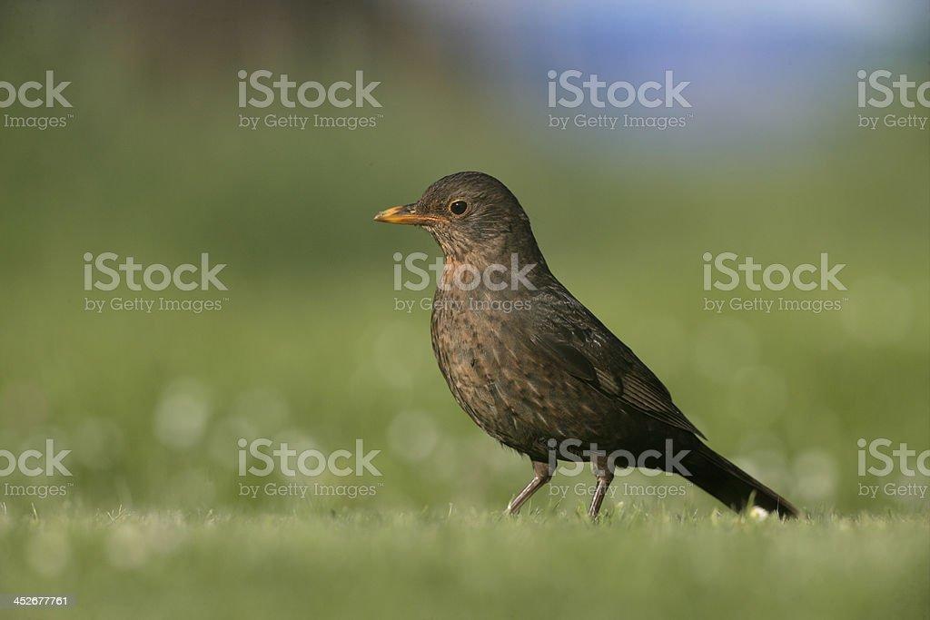 Blackbird, Turdus merula royalty-free stock photo