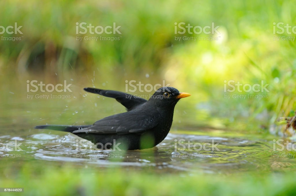 Blackbird washing (Turdus merula) stock photo