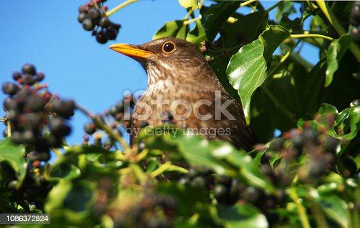 Blackbird eating berry's high up a garden bush