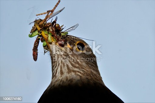 Mail blackbird with worms and insects in here beak to feed here chicks