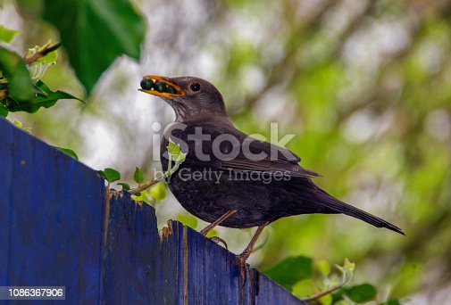 Blackbird with berry food in her beak for feeding and care here chicks