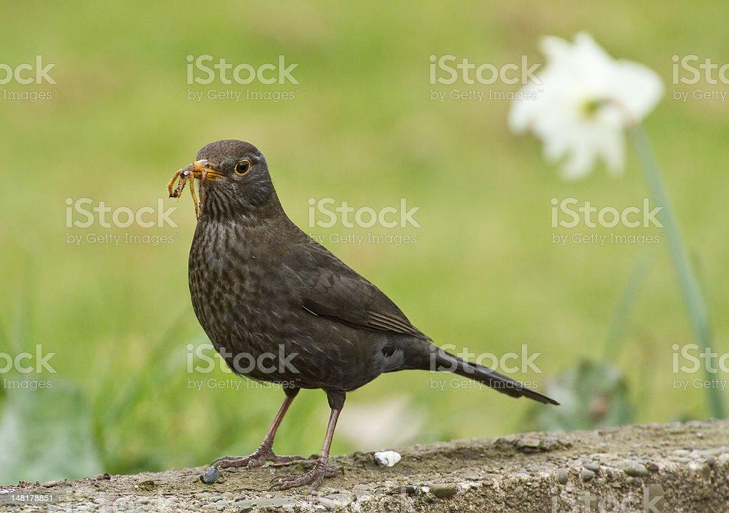 Blackbird with food stock photo