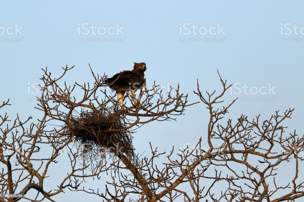 Black-breasted snake eagle (Circaetus gallicus) perched on a tree, South Africa stock photo