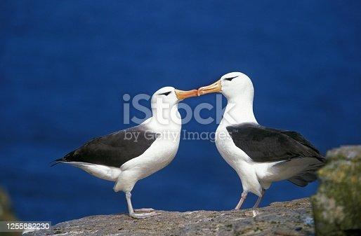 Black-Browed Albatros, diomedea melanophris, Pair Courting, Drake Passage in Antarctica