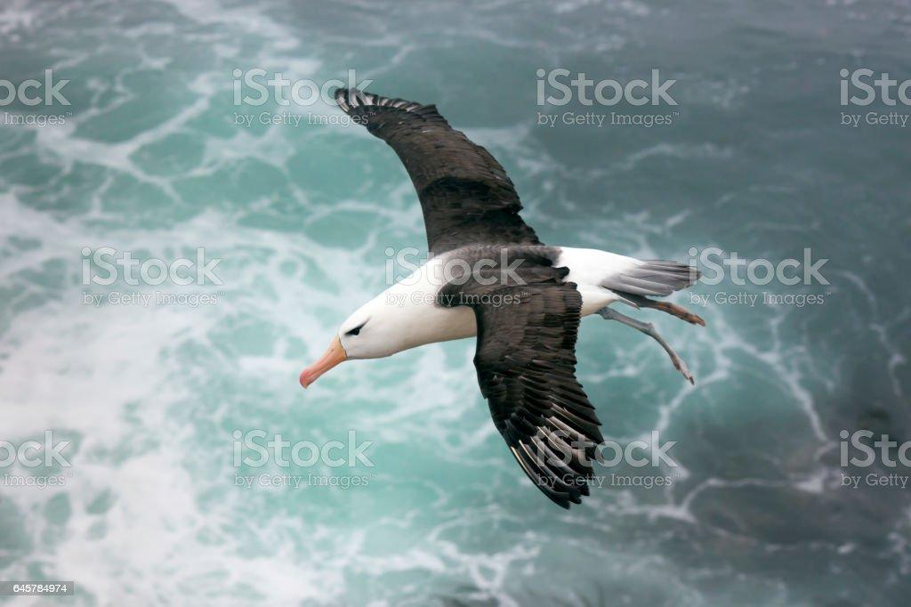 Albatros ceja negra sobre el mar en las Islas Malvinas - foto de stock