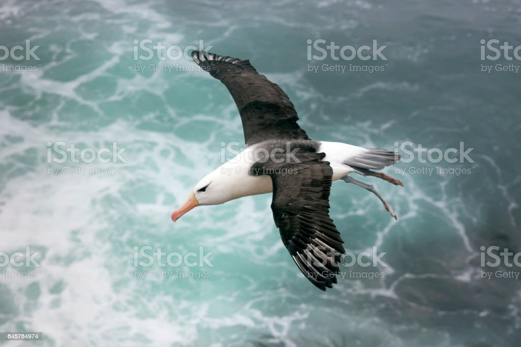 Black-browed Albatross über dem Meer auf den Falkland-Inseln – Foto