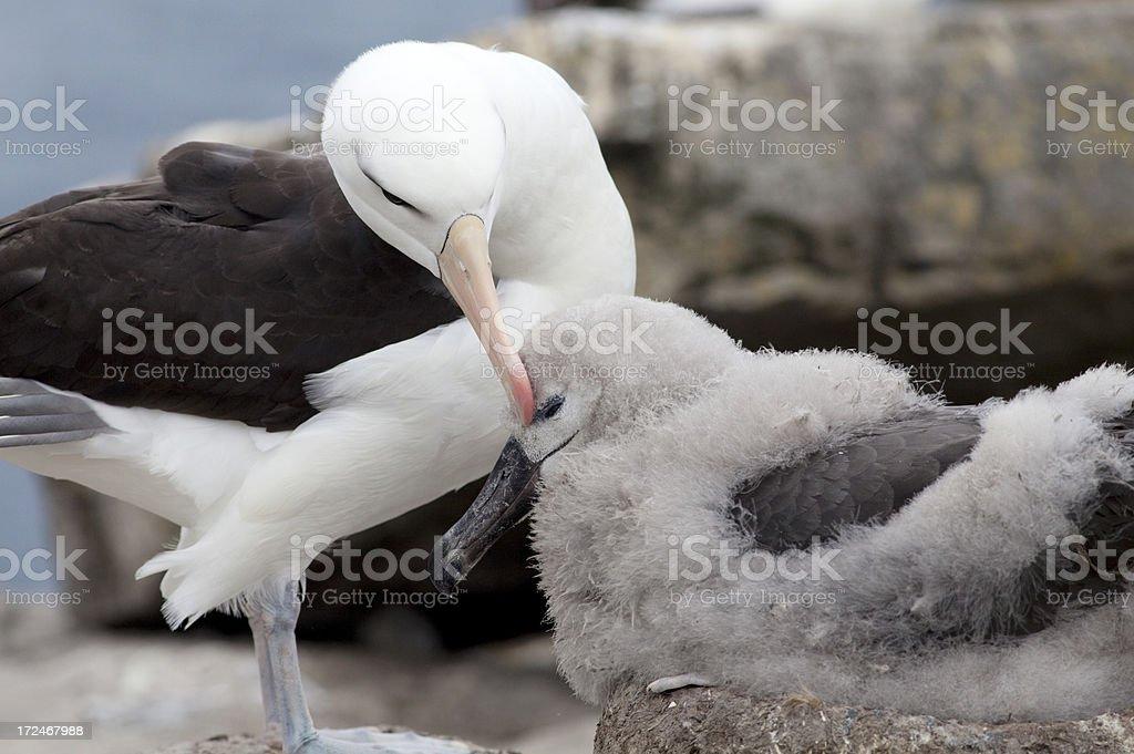 Schwarzbrauen-Albatros und chick, Falklandinseln – Foto