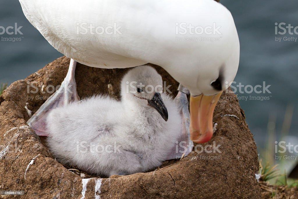 Schwarzbrauen-Albatros und Ihr chick – Foto