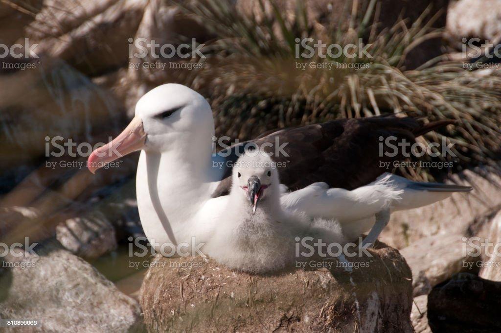 Albatros ceja negra y su polluelo - foto de stock