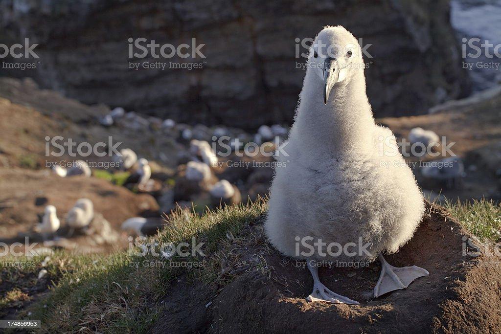 Albatros ojeroso Chick, Islas Malvinas - foto de stock