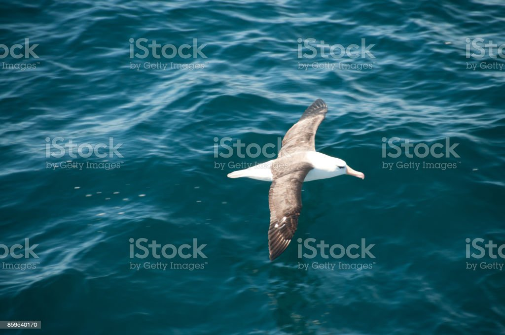 Albatros ceja negra volando bajo - foto de stock