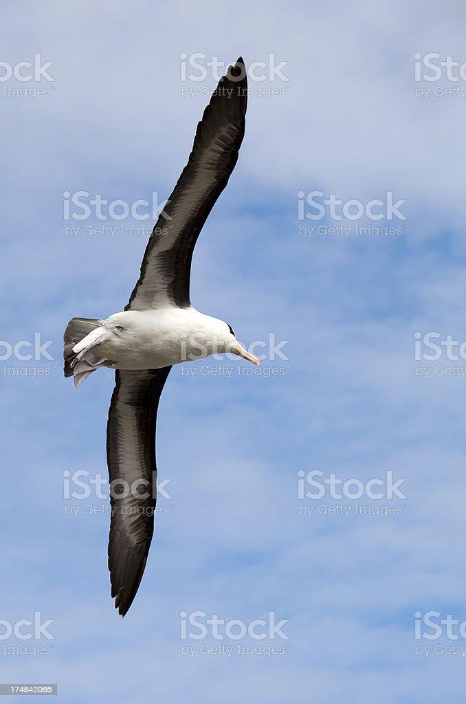 Schwarzbrauen-Albatros im Flug, Falklandinseln – Foto