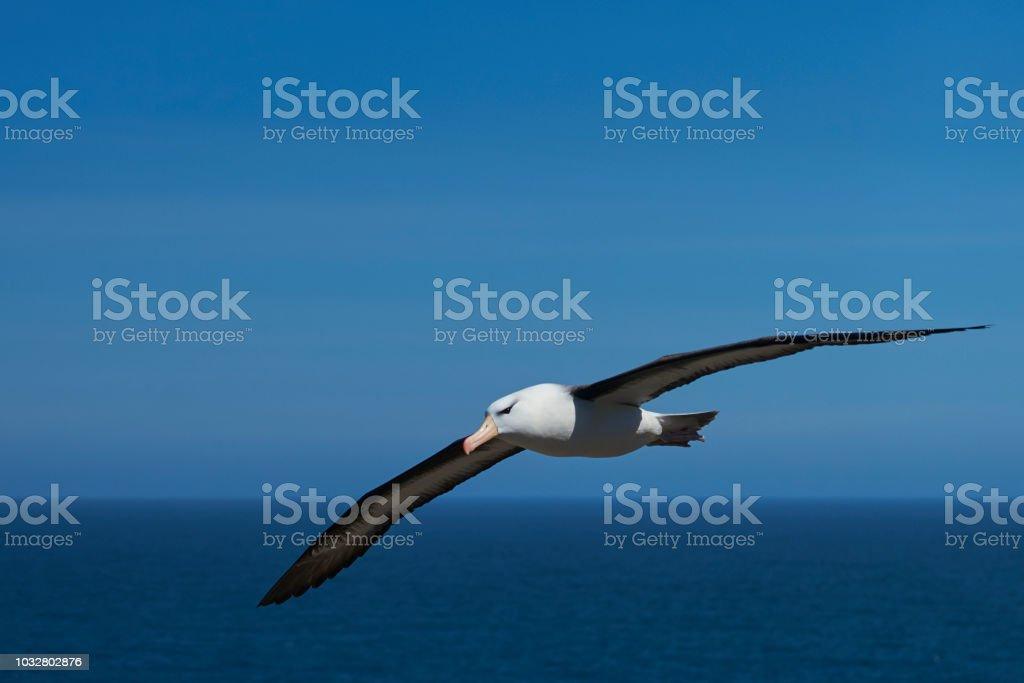 Albatros ojeroso en vuelo - foto de stock