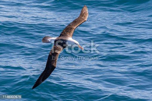 Black-browed albatross (Thalassarche melanophris) in flight over the southern ocean